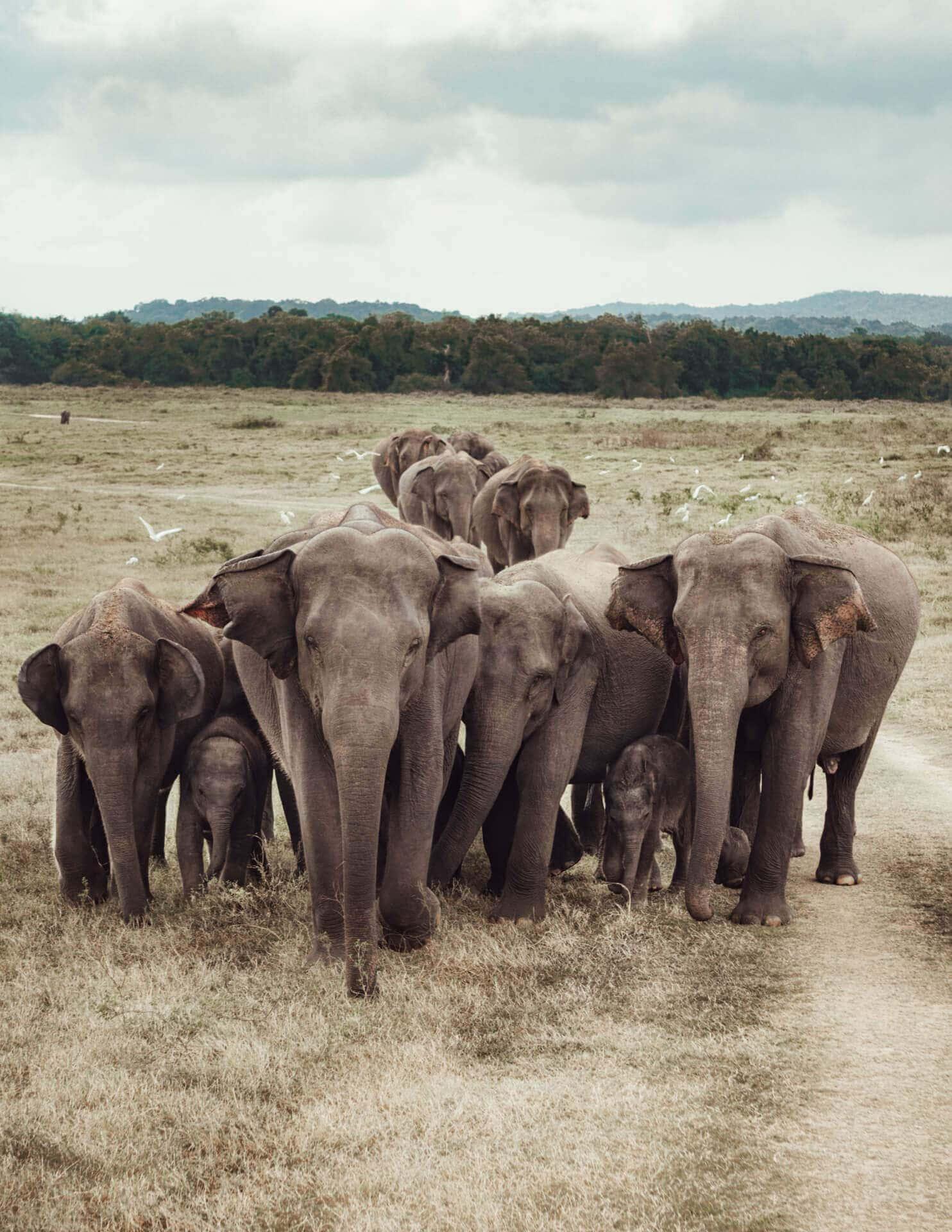 must do sri lanka wildlife elephants