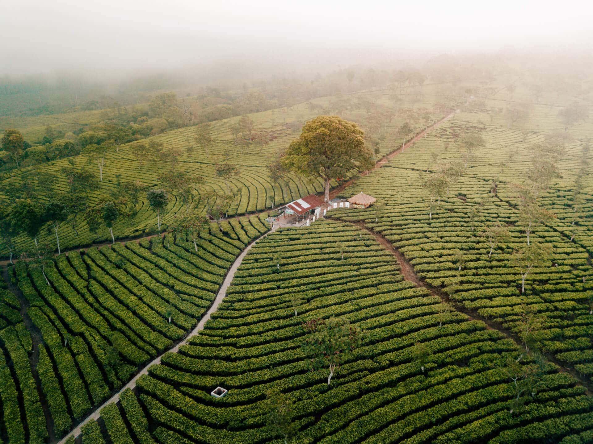 things to do malang java tea plantation Bukit Kuneer drone