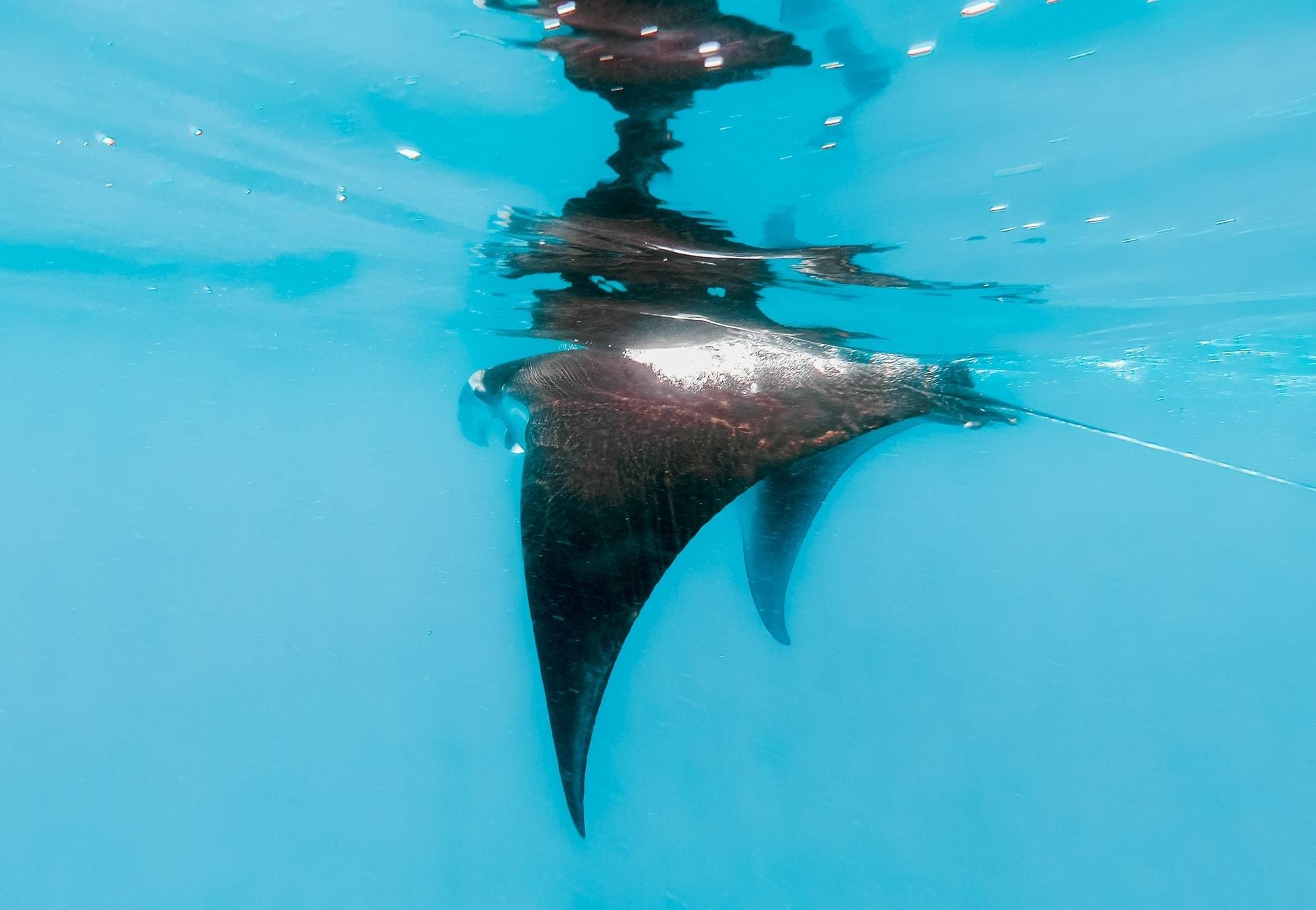 komodo islands flores manta ray