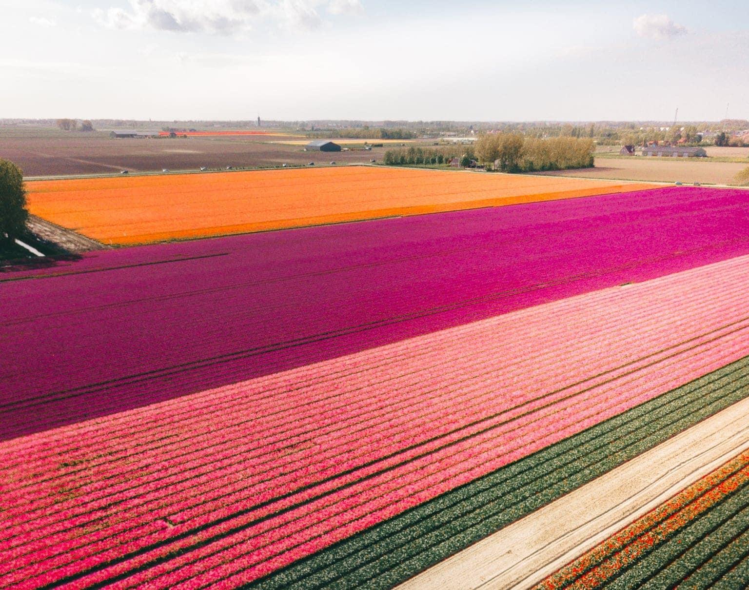 tulpen nederland regenboog veld