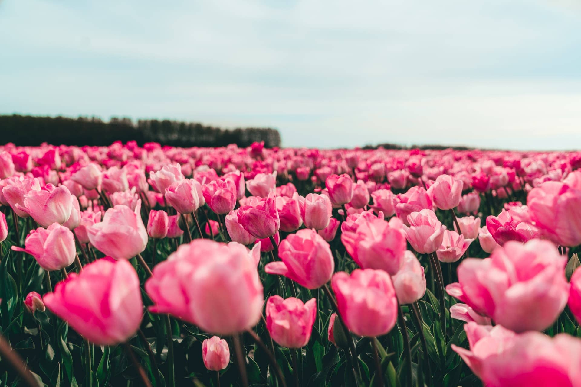tulips netherlands pink flowers