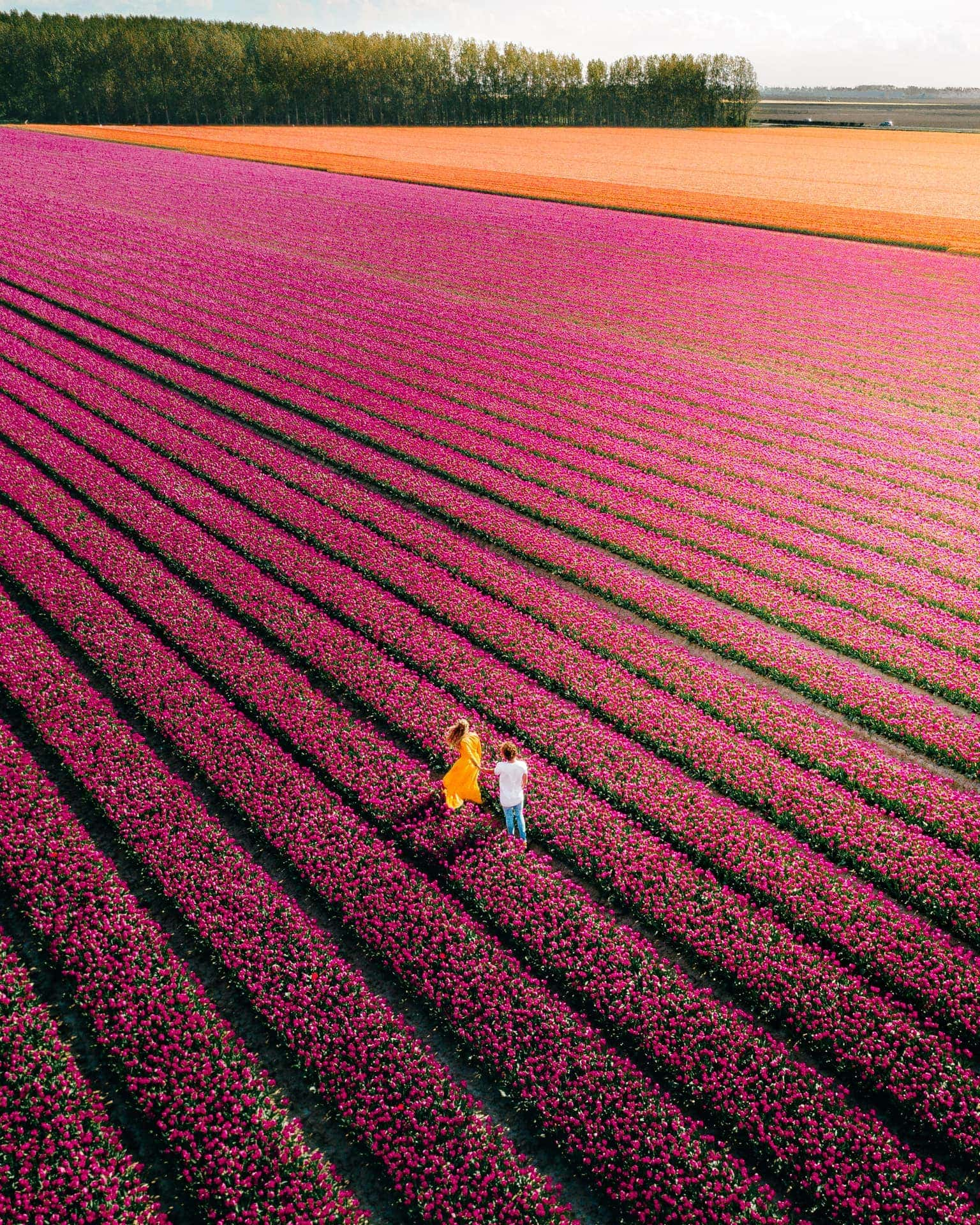 tulpen nederland mooie veld drone