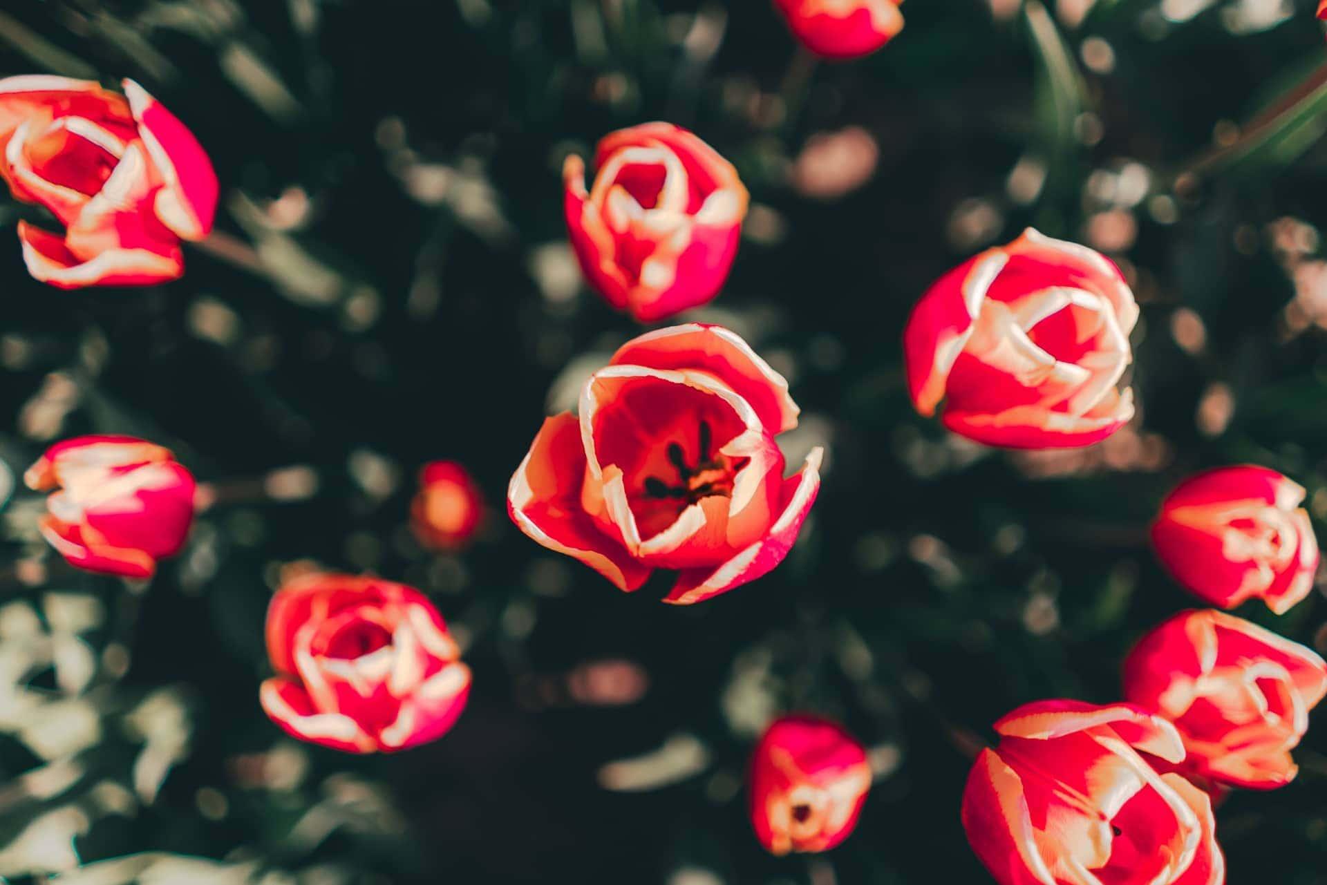 tulpen nederland bloem