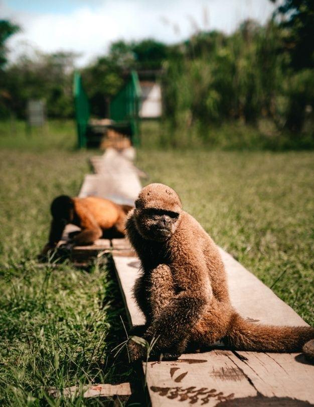 monkey island amazon peru
