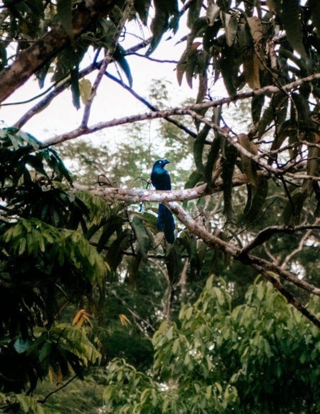 peru-amazon iquitos birdwatching