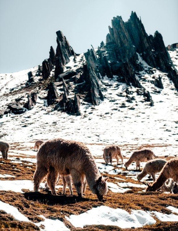 rainbow mountain peru snow lama