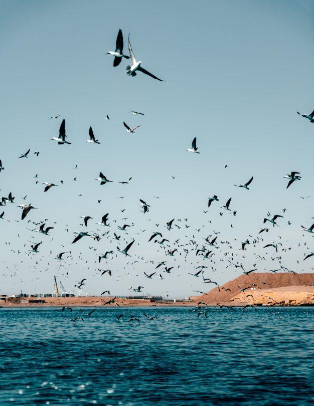 Ballestas Islands birds