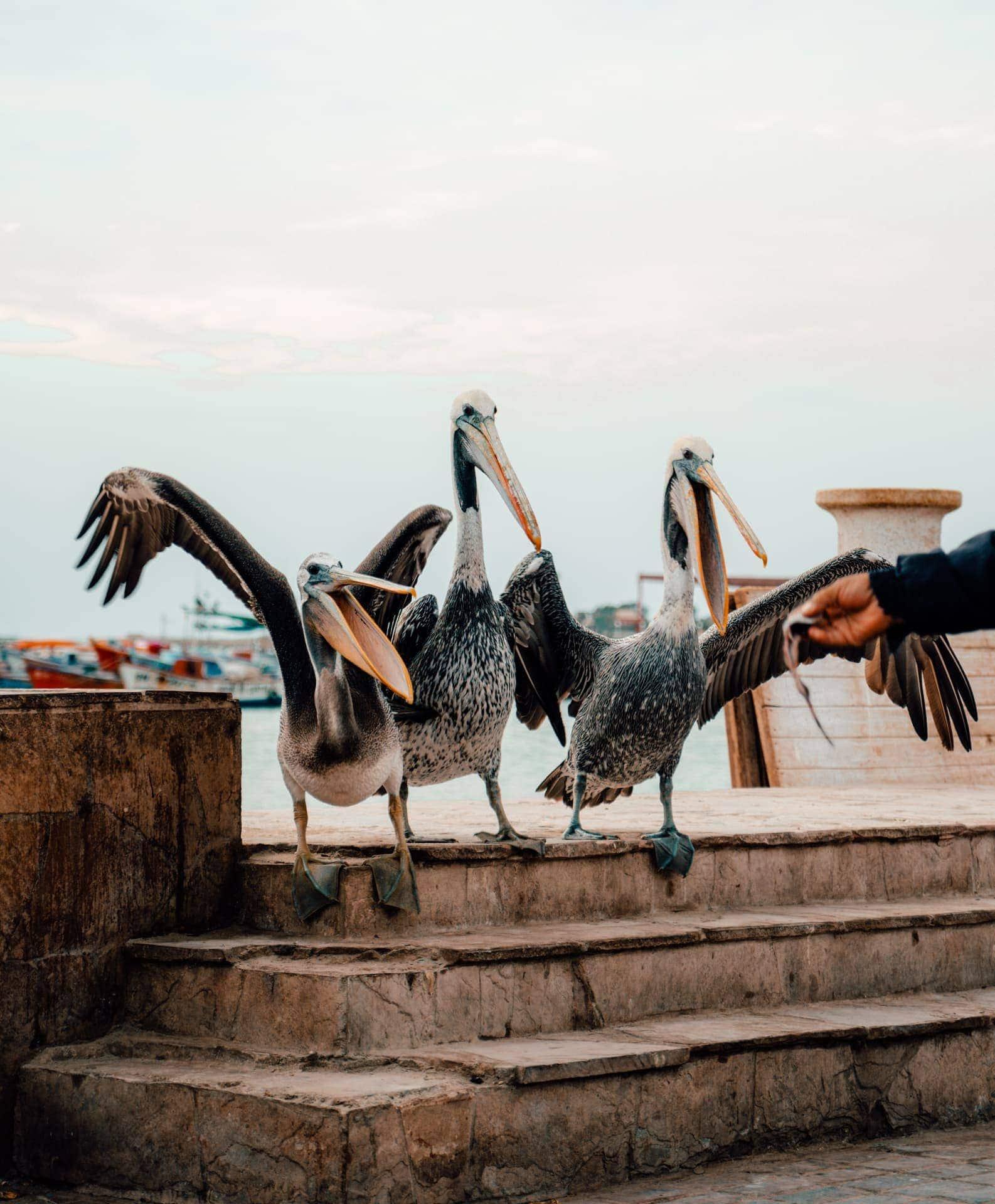pelicans paracas peru