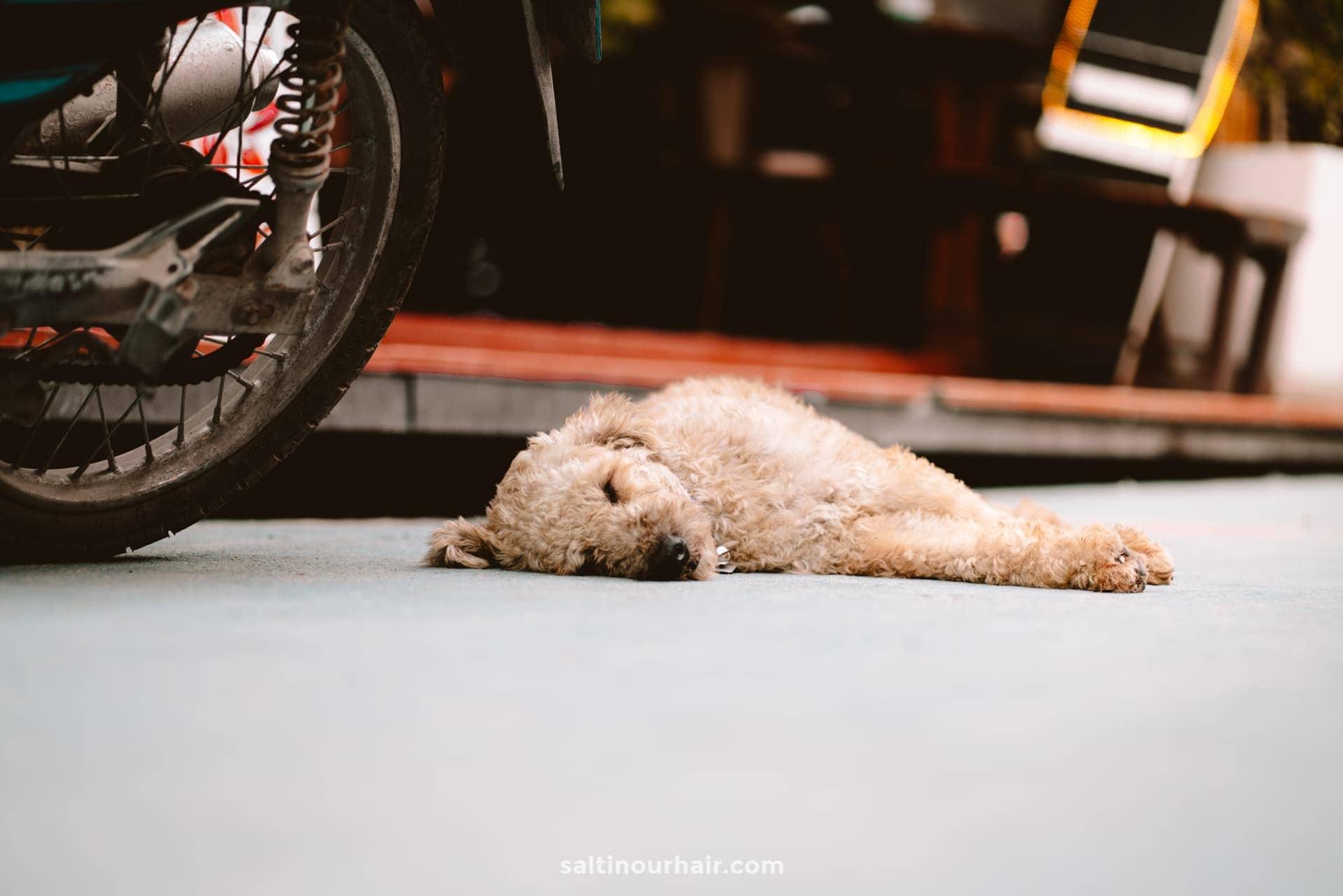 thailand island dog