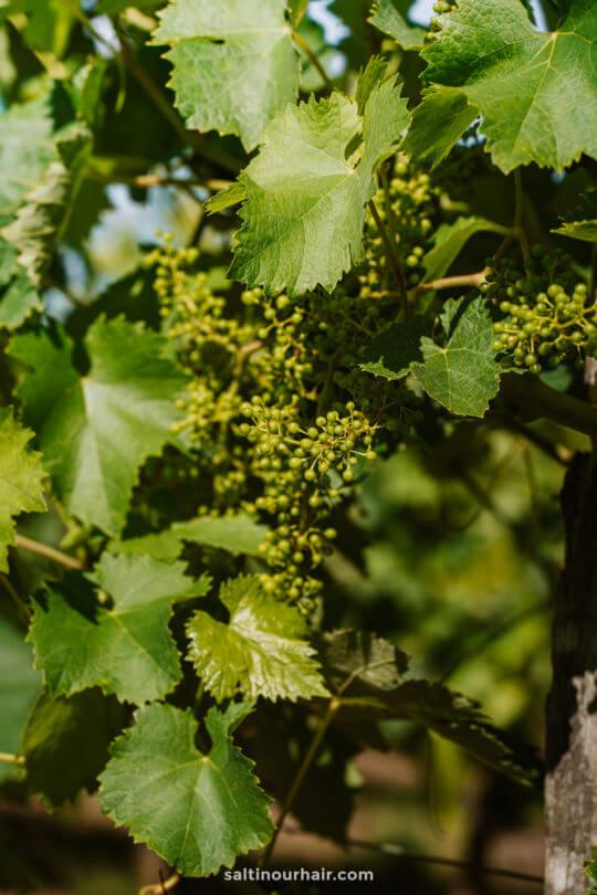 Aubeterre france vineyard