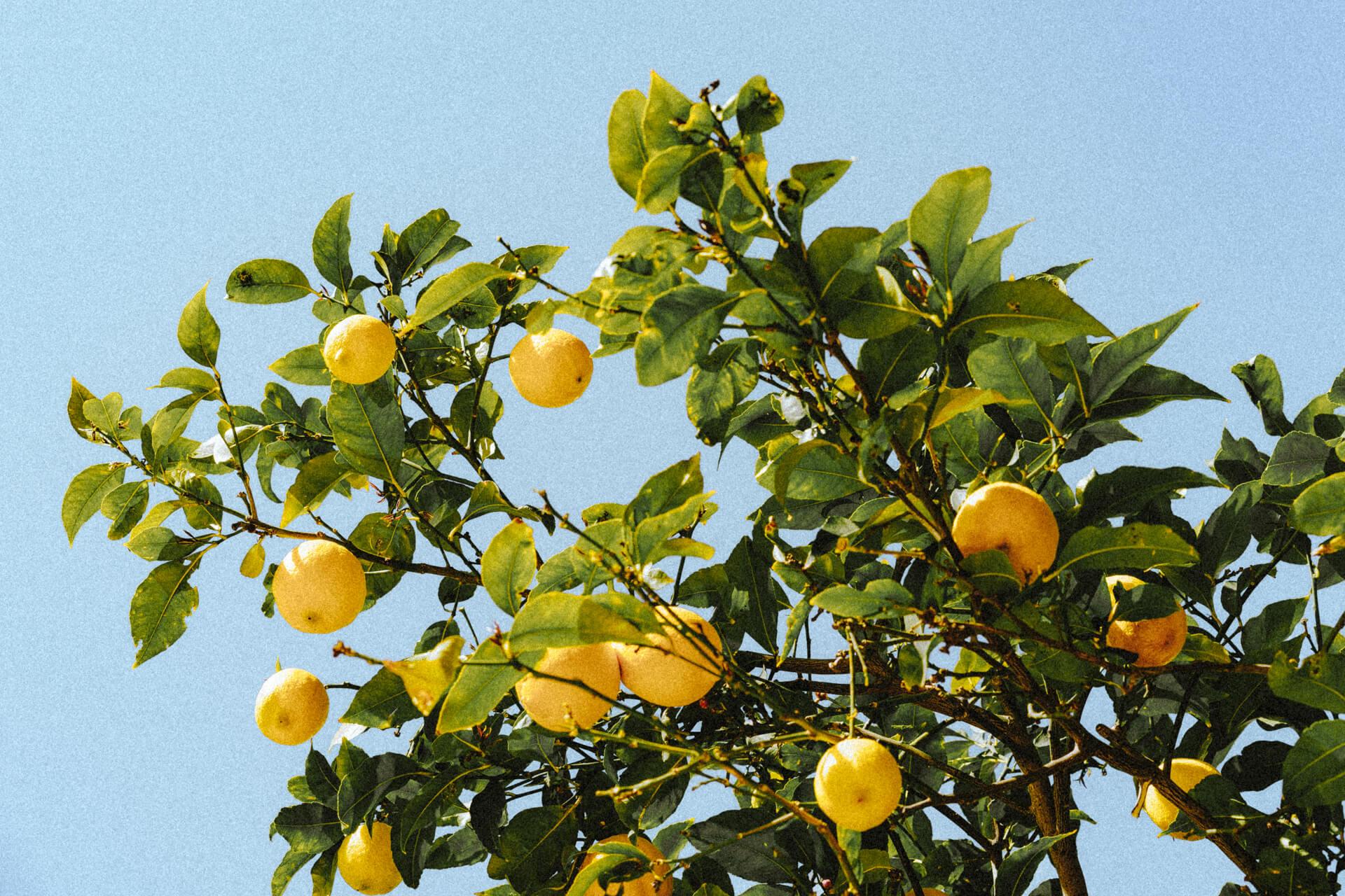 menton france lemons